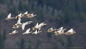 Snow Geese 1