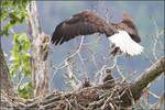 Bald Eagle and Eaglets