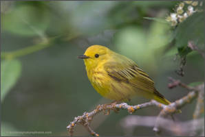 Yellow Warbler by kootenayphotos