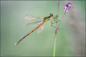 Damselfly by kootenayphotos
