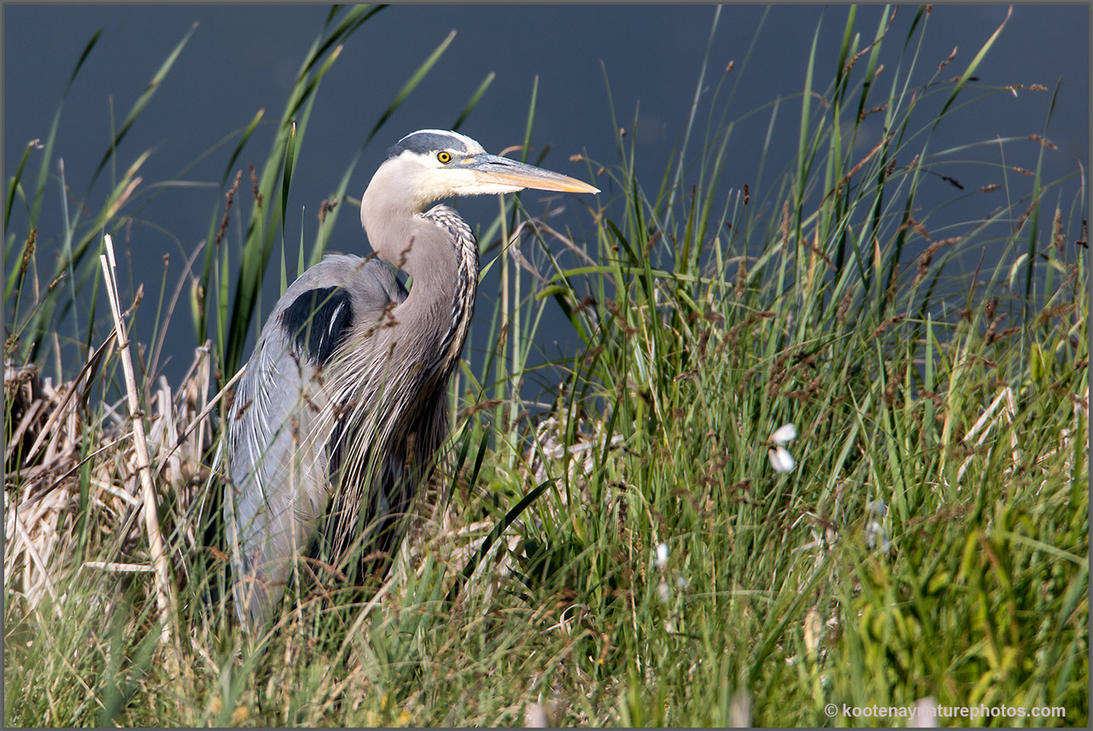Great Blue Heron by kootenayphotos