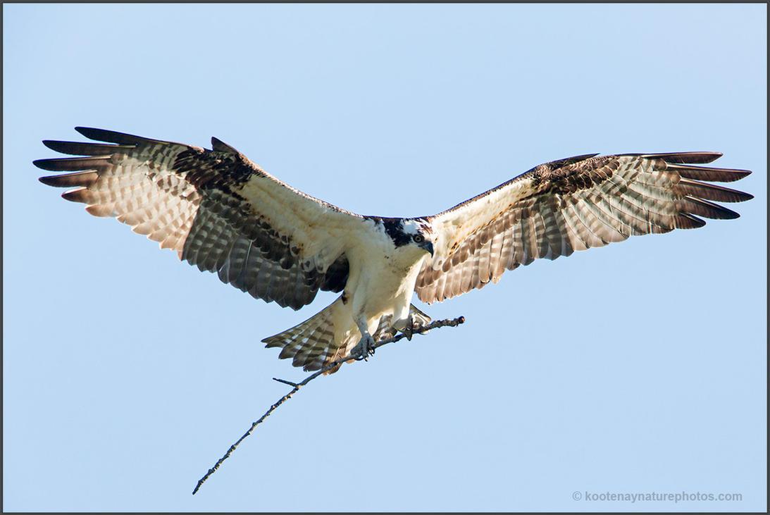 Osprey by kootenayphotos