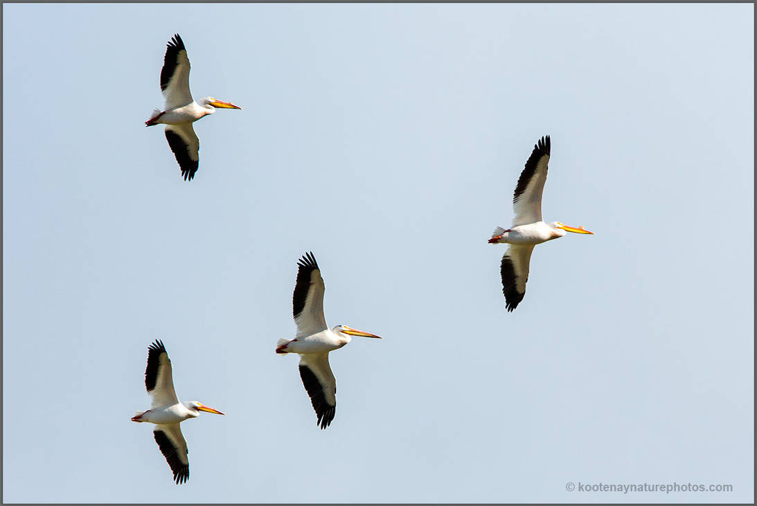 American White Pelicans by kootenayphotos