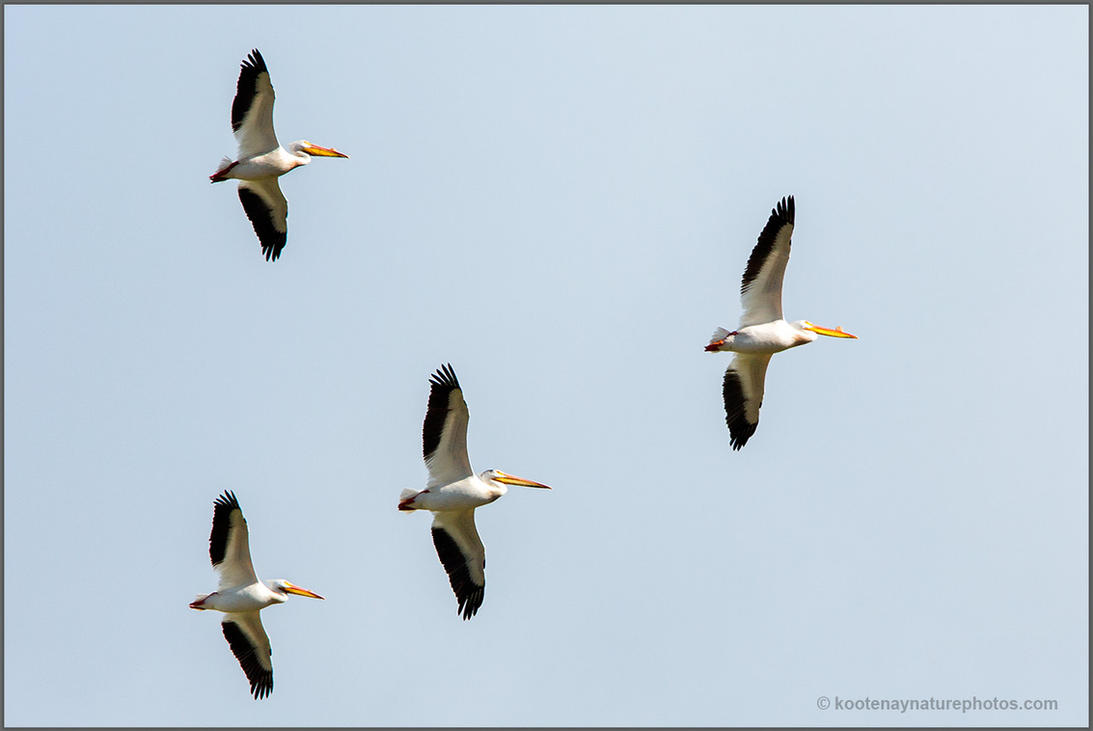 American White Pelicans by kootenayphotos