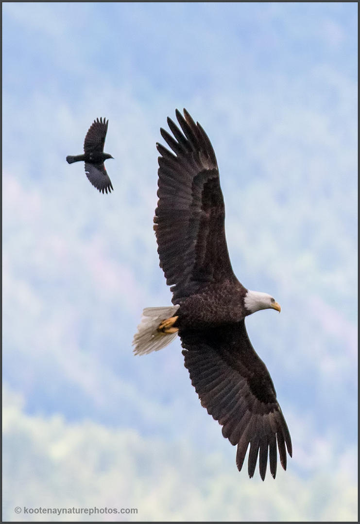 Eagle and Blackbird by kootenayphotos