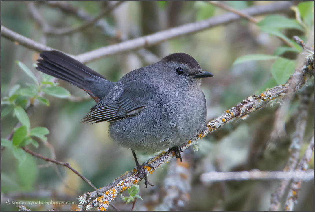Gray Catbird by kootenayphotos