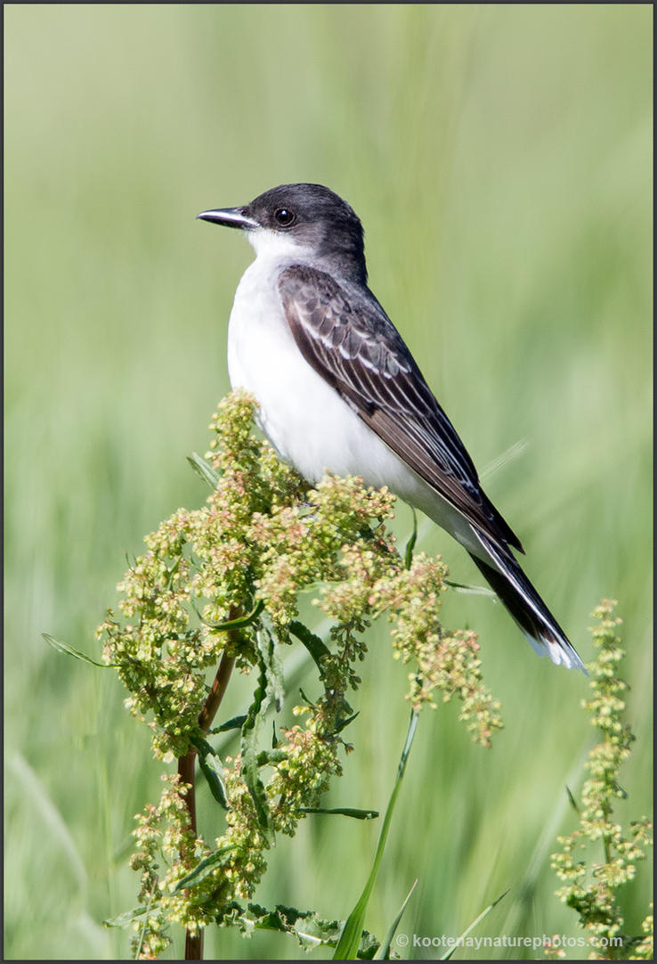 Eastern Kingbird 1 by kootenayphotos