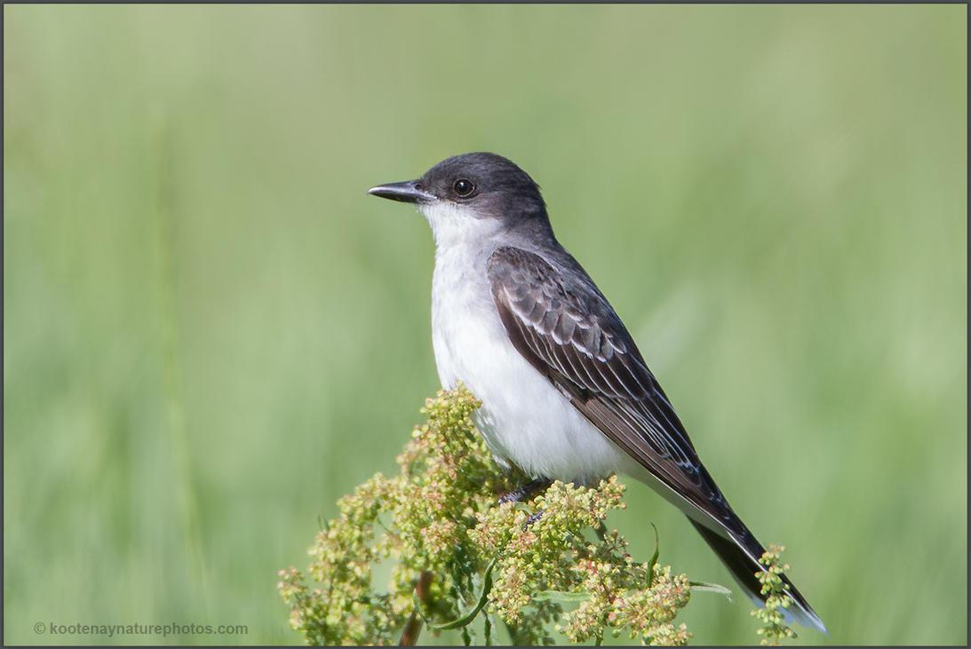 Eastern Kingbird 2 by kootenayphotos