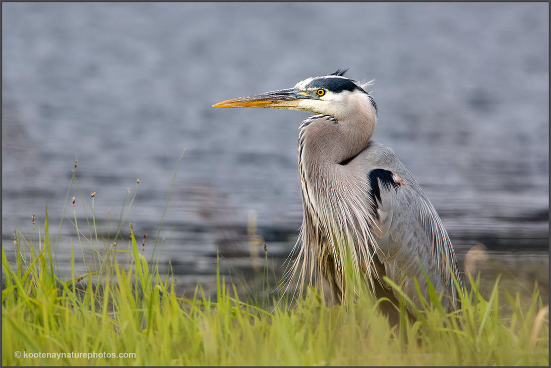 Great Blue Heron by kootenayphotos
