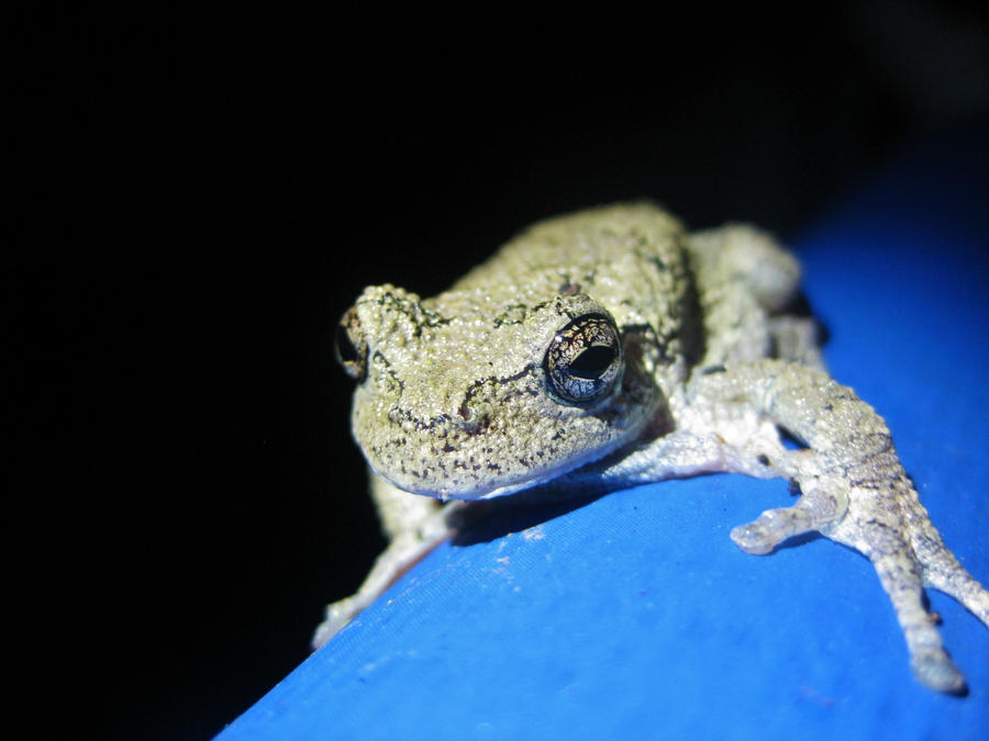 gray tree frog in backyard by mikemysterious on deviantart