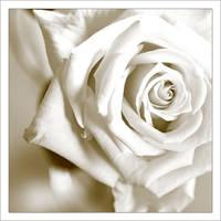 White Rose by MorkOrk