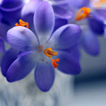 the blue world of crocusses