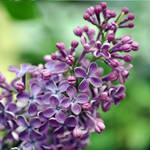 lilac love 2