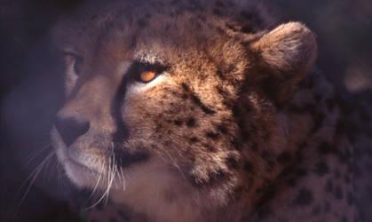 diago the cheetah by cheetahdiago