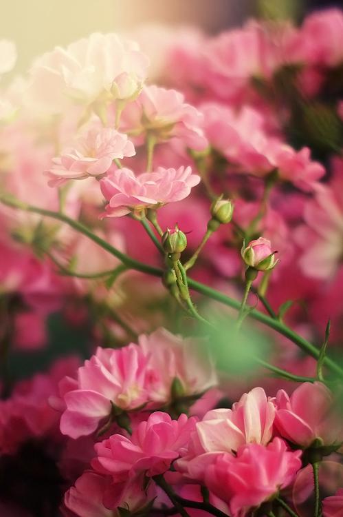 Fallen Roses... by Samantha-meglioli