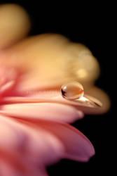 Soft Sweet Daisy