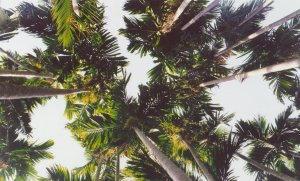 Coconut Trees by PyariKuri