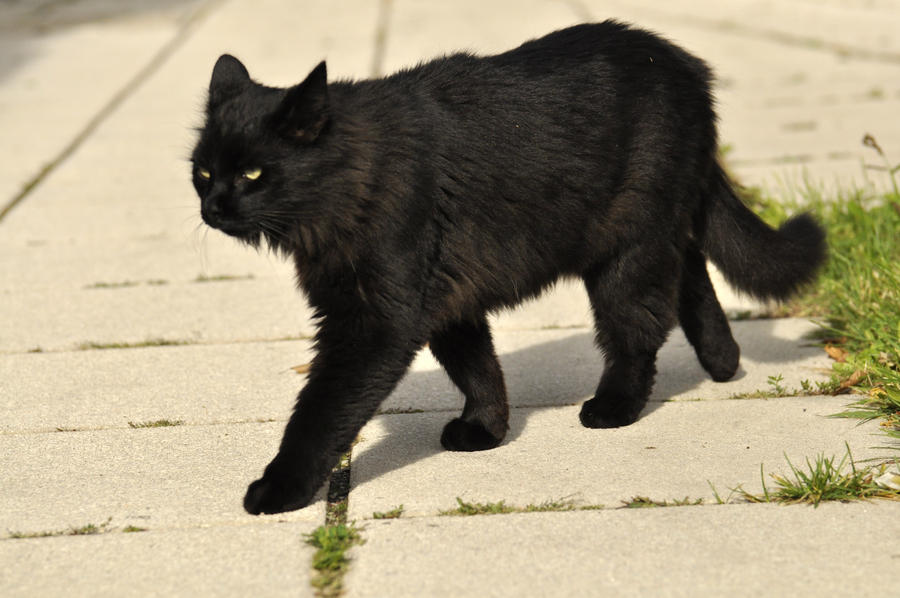 Black cat stock 09 by windfuchs