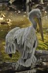 Pelican stock 02