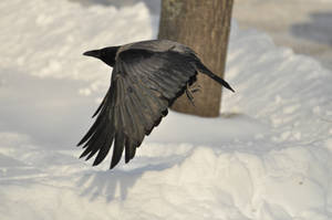 Crow in snow 05 by windfuchs