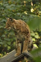 Lynx stock 2 by windfuchs