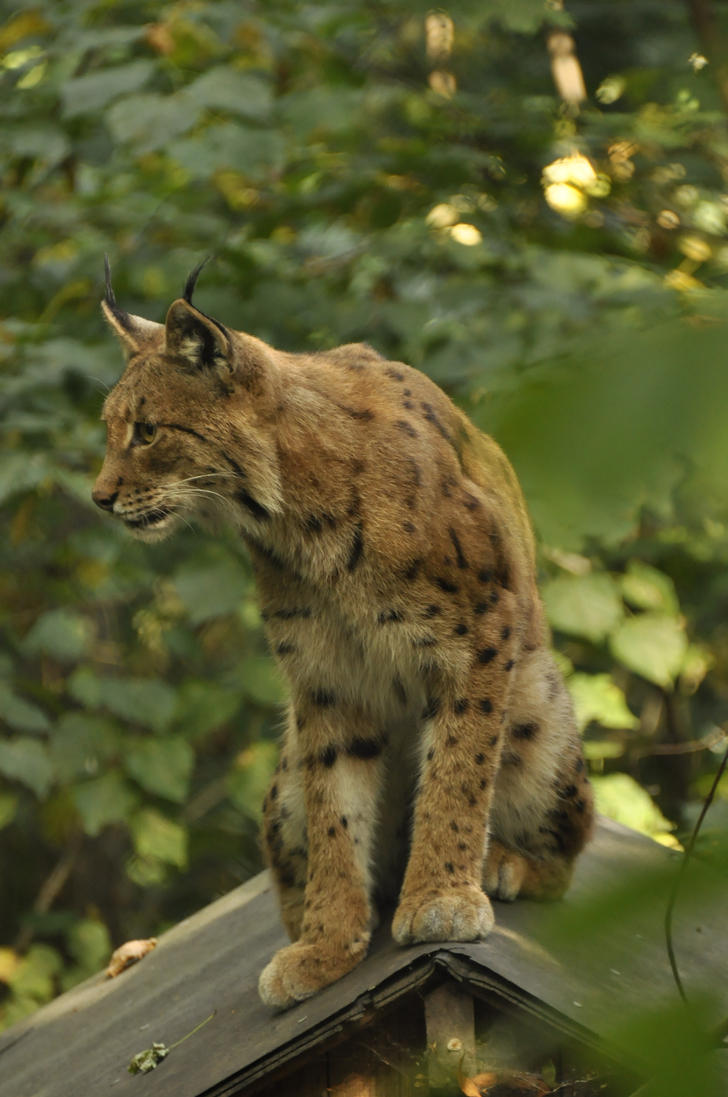 Lynx stock 2 by windfuchs