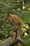Lynx stock 2