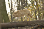 Wolf stock 55