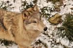 WSC wolves stock 26