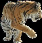 Precut Tiger 1