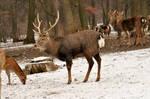 WSC deer stock 2