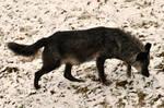 WSC wolves stock 36