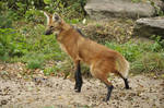 Maned wolf stock 05