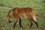 Maned wolf stock 10