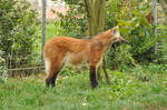 Maned wolf stock 13