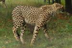 Cheetah stock 08