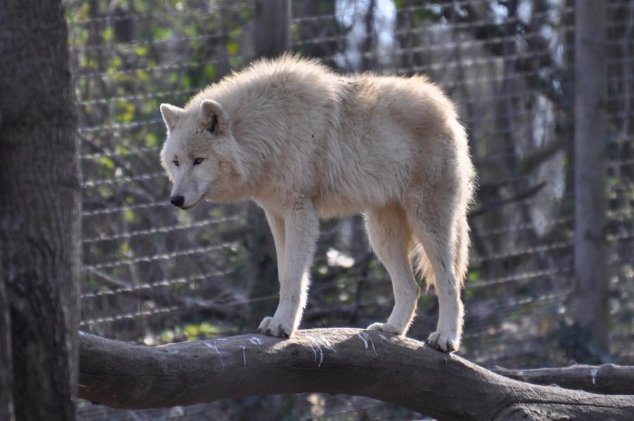 Schoenbrunn Wolves March 3 by windfuchs