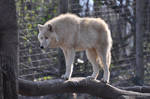 Schoenbrunn Wolves March 3