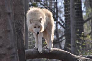 Schoenbrunn Wolves March 4 by windfuchs