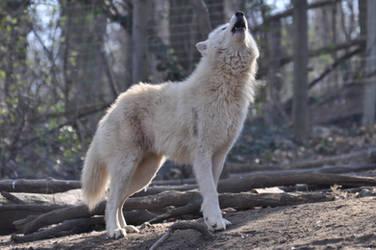 Schoenbrunn Wolves March 5 by windfuchs