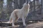 Schoenbrunn Wolves March 5
