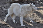 Schoenbrunn Wolves March 8