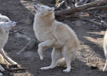 Schoenbrunn Wolves March 9