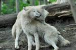 Cuddling Wolves Stock