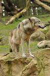 Lueneburger Heide Wolves 6