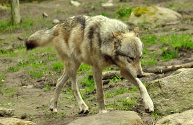 Lueneburger Heide Wolves 13