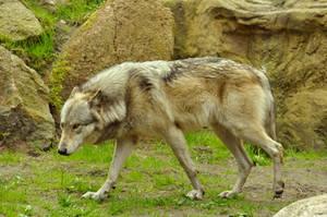Lueneburger Heide Wolves 16 by windfuchs
