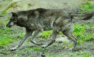 Lueneburger Heide Wolves 27 by windfuchs