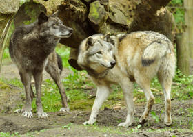 Lueneburger Heide Wolves 34 by windfuchs
