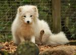 Lueneburger Heide Arctic Foxes 04